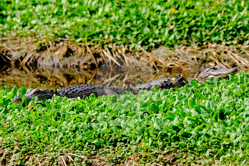 A group of juvenile American alligators warm in the winter sun on a patch of water lettuce at the Bear Island Wildlife Management Area in Green Pond, South Carolina.