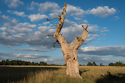 Windsor, UK. 11 July, 2020. A withered oak tree on the edge of the Cavalry Exercise Ground in Windsor Great Park. Windsor Great Park has one of the finest collections of veteran trees in the world.