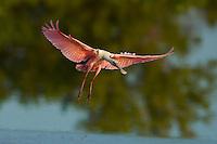 Roseate Spoonbill (Ajaia ajaja) in flight.  Everglades National Park, Eco Pond..Florida, USA.