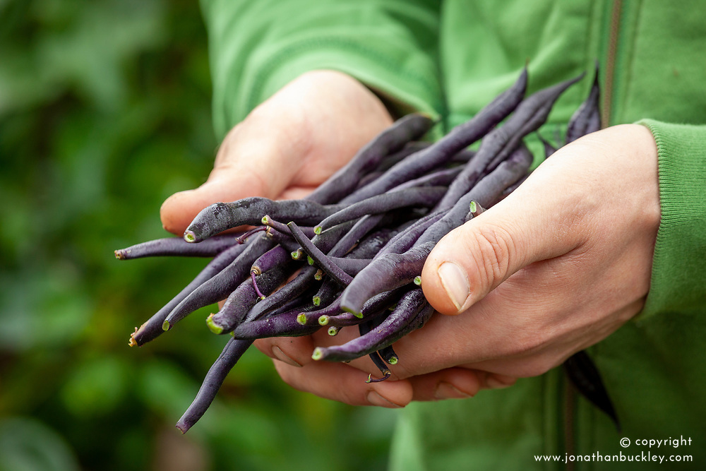 Hands holding harvested climbing black French beans - Phaseolus vulgaris