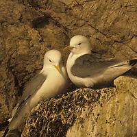 Kittiwake gulls next in cliffy rookery by King's Fjord, near Ny Alesund.