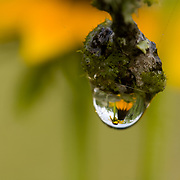 Solitary dew drop on Mexican Hat (Ratibida columnaris), Hoffman, Alice, South Texas, USA