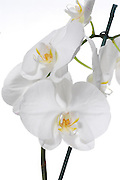 White Phaleanopsis Orchid on white background