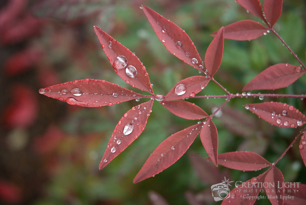Large round rain drops of water remain on the red leaves of a small plant while it was raining in southern Oregon.