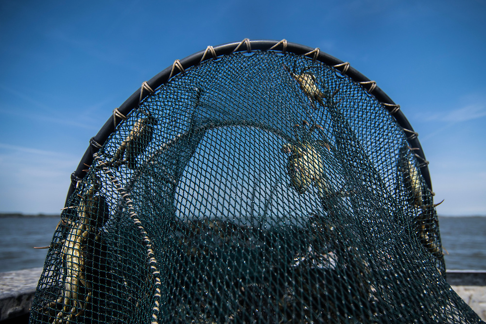 VENICE, ITALY - APRIL 2018. <br /> Crabs climb the fishing net that has been pulled up from the water to check the state of them. This operation is made on the boat while the fisherman makes the checking tour of his fishing nets. The checking tour is made at least twice a day.