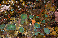 Tide pool with starfish. Great Tidepool, Pacific Grove, CA