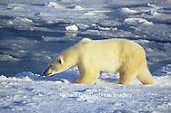 01874-09814 Polar Bear (Ursus maritimus) walking near Hudson Bay, Churchill MB