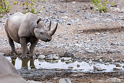 Rhino in waterhole at Etosha National Park, Namibia, Africa