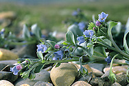 OYSTERPLANT Mertensia maritima (Boraginaceae) Prostrate. Spreading plant found on stony beaches, around the high-tide mark. Shetland and Orkney are the best British locations for the species and it is very locally common. It can be recognised by its fleshy, blue-green leaves and bell-shaped flowers that are pink in bud but soon turn blue (June-Aug).