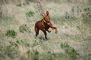 SHOT 5/9/20 8:54:37 AM - Various pointing breeds compete in the Vizsla Club of Colorado Licensed Hunt Test Premium at the Rocky Mountain Sporting Dog Club Grounds in Keenesburg, Co. (Photo by Marc Piscotty / © 2020)
