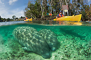 Kayakers and endangered Florida Manatees (Trichechus manatus latirostris) in Three Sisters Spring in Crystal River, FL. Manatees and their dwindling habitat are under threat by unstoppable development in the state of Florida.