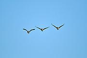 Canada geese (Branta canadensis) in flight <br />Oak Hammock Marsh<br />Manitoba<br />Canada