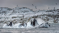 Four massive Humpback whales plunges out of the water, fish flying, while they feed on the huge congregation of Herring in these fjords during the winter months. Tromsø, Norway