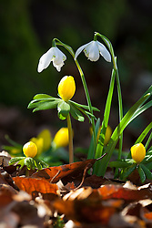 Snowdrop and aconite growing together in the woodland garden. Eranthis hyemalis and Galanthus nivalis 'Flore Pleno'