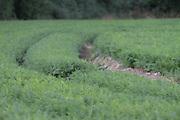 carrot, vegtable, crop, root, field,