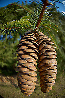 Large Pine Cones. Backyard Winter Nature in New Jersey. Image taken with a Nikon D2xs camera and 10.5 mm f/2.8 fisheye lens (ISO 100, 10.5 mm, f/2.8, 1/640 sec).