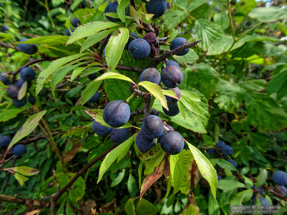 Ripe Sloe Berries In A Hedgerow. The Astringent Fruit Is Used To Make Sloe Gin