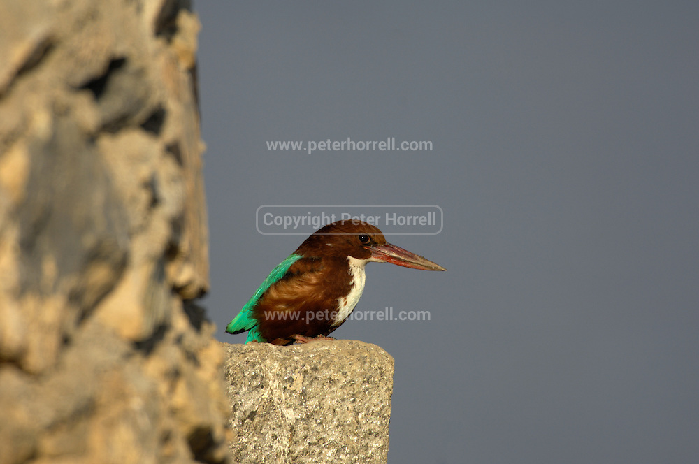 Nimaj - Friday, Dec 29 2006:  A White-throated Kingfisher, (Halcyon smyrnensis) perches on the dam at Chhatra Sagar. (Photo by Peter Horrell / http://www.peterhorrell.com)