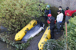 © Licensed to London News Pictures. 10/05/2021. London, UK. The body of a young minke whale remains on the foreshore after it became trapped in the River Thames at Teddington Lock in south west London. Fire crews and the British Divers Marine Life group worked with a Royal National Lifeboat Institute (RNLI) crew in an effort to save the whale after it got stuck last night . Photo credit: Peter Macdiarmid/LNP
