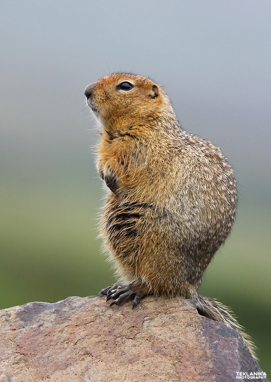 An arctic ground squirrel perches on a boulder in Denali National Park.
