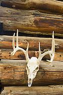 Elk mount (Cervus canadensis) on log cabin in Montana<br /> PROPERTY RELEASED