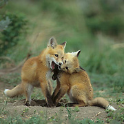 Red Fox (Vulpus fulva). A pair of fox pups playing together near a den during the springtime in Montana.