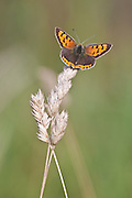 Small copper butterfly on grass stem.