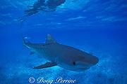 tiger shark, Galeocerdo cuvier, Bikini Atoll, Marshall Islands, Micronesia ( Pacific Ocean )