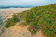 Rosa Rugosa on beach,New York, Hampton Bays , Long Island, Atlantic Ocean, Sunrise