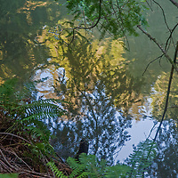 Ferns and fir branches reflect in Alpine Lake on the northwest slopes of Mount Tamalpais in Marin County, California.