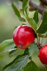 Malus domestica 'Katy'. Other names: Apple 'Katy', Apple 'Katya', Apple 'Katja'