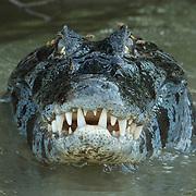 Caiman showing its teeth. Pantanal, Brazil