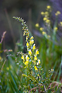 Toadflax (Linaria vulgaris) is an invasive, non native species in the Thompson Okanagan.  This plant was found growing along the roadside in Kekuli Bay Provincial Park near Vernon, British Columbia, Canada