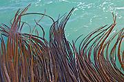 Strands of bull kelp, New Zealand