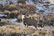 Mule deer buck during the rut in Southwest Wyoming