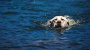 USA, Oregon, Hood River, Labrador Retriever swimming.