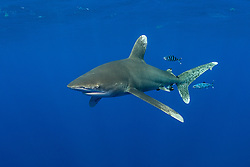 This Oceanic White-tip Shark, Carcharhinus longimanus, is accompanied by a pair of Pilotfish, Naucrates ductor. Both species are pelagic, open-ocean nomads, rarely coming near land or shallow water. Bahamas; Atlantic Ocean