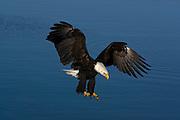 Bald Eagle, Haliaeetus leucocephalus, landing, Kenai Peninsula, Homer Spit, Homer, Alaska. Digital original, #2006_0703 ©Robin Brandt
