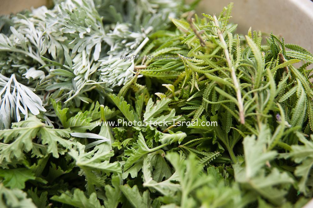 Herbal Tea and spice mixture of leaves of mint, Pelargonium graveolens (Geranium) and tree wormwood (Artemisia arborescens)
