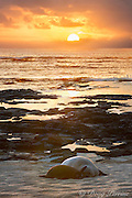 Hawaiian monk seals, Neomonachus schauinslandi (formerly Monachus schauinslandi ), mother and pup at sunset, Papaloa Beach, Kalaupapa Peninsula, Molokai Island, Hawaii, USA ( Central Pacific Ocean ) (digital composite)