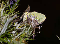 A Cloud Sulphur butterfly is caught in the clenches of a praying mantis while perched on a field thistle plant.