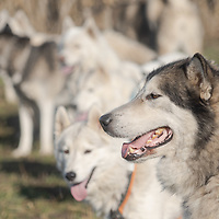 Dogs are lined up in preparation to compete a dogsled Race in Paty, Hungary on Nov. 7, 2020. ATTILA VOLGYI