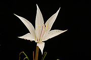 Crinum minimum, Limpopo, South Africa