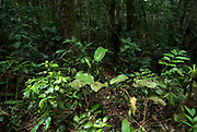 Understorey of Jungle Forest, Primary Rainforest, Iquitos, Peru, flood area of Rio Tigre River, Amazonian, green leaves and shrubs, trees,.