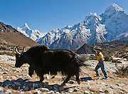 A Nepali boy chases a big yak, in Sagarmatha National Park, Nepal.  Behind them, the peak of Thamserku (right) rises to 21,680 feet / 6608 meters elevation. Ama Dablam (left) rises to 6,856 meters / 22,493 feet. Khumbu District, Nepal. Sagarmatha National Park was created in 1976 and honored as a UNESCO World Heritage Site in 1979.