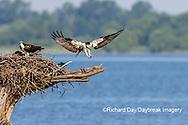 00783-01912 Osprey (Pandion haliaetus) landing at nest Rend Lake Jefferson Co. IL
