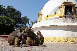 Monkeys at Swayambhunath, also known as the Monkey Temple, in the Kathmandu Valley. This complex that dates back to the 5th century its revered by both Buddhists and Hindus and includes a large stupa as well as a group of shrines and temples that we visited during our Himalayan Heroes adventure, Nepal. Monday, November 5, 2018. Photography ©2018 Michael Lichter.