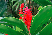 Red Ginger, Hawaii<br />