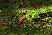 Fall colors peak at the Seattle Japanese Garden, offering stunning contrasts during brief sun breaks in Seattle. (Ken Lambert / The Seattle Times)