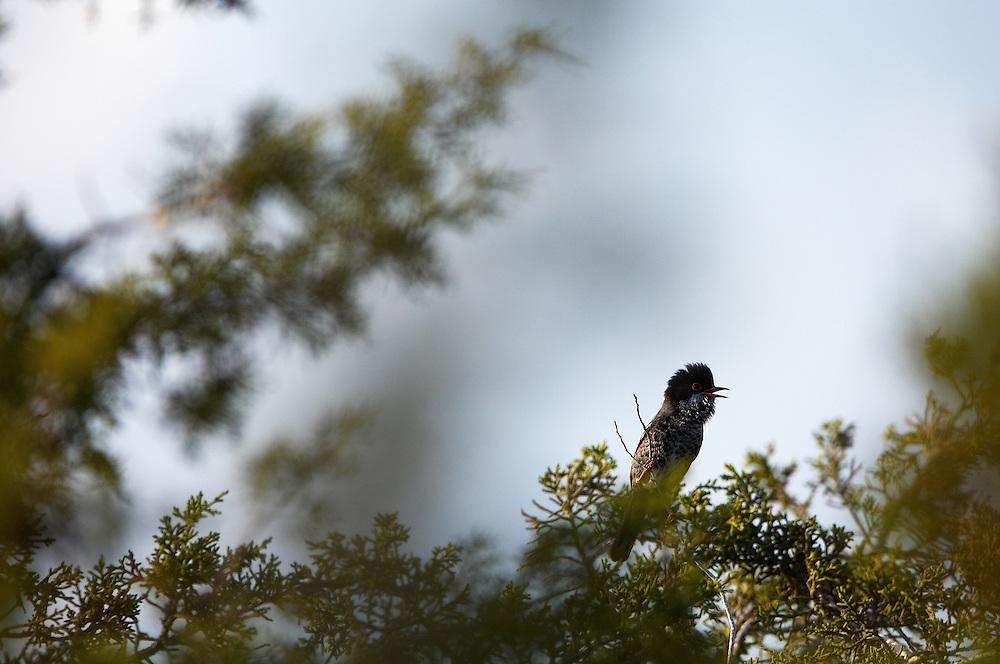 Cyprus Warbler (Sylvia melanothorax), Limassol, Northern Cyprus